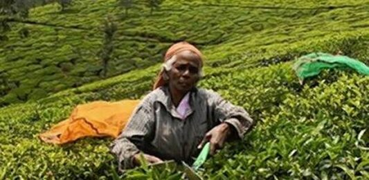 Record prices for Nilgiri tea this year