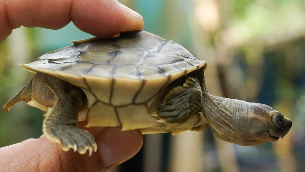 A newly hatched Burmese roofed turtle. Image Credit: Myo Min Win/Platt et al 2020